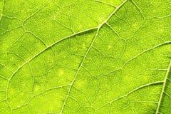 Макрос зеленых лист солнцецвета изрезанный поверхностный Стоковые Фото
