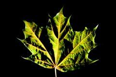 Макрос зеленого цвета силуэта листьев осени Стоковое Фото