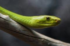 Макрос зеленой мамбы стоковое изображение