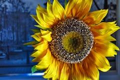 Макрос искусственного солнцецвета стоковая фотография