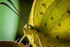 Макрос и конец вверх по желтой бабочке на лист n оранжевых стоковые фото