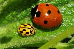 Макрос 2 кавказских кавказских ladybirds сидя на зеленом le Стоковое фото RF