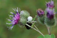 Макрос кавказского белого паука и желт-черного шмеля на бушеле стоковое фото rf
