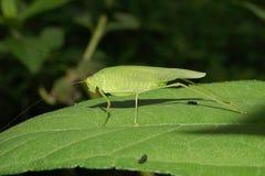 Макрос кавказского зеленого кузнечика с длинным усиком и PA Стоковое Изображение RF