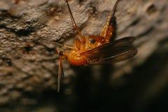 Макрос кавказского коричневого москита гриба под крышкой гриба Стоковое фото RF