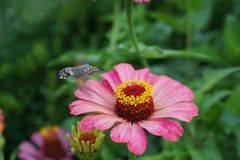 Макрос кавказского collectin roisterer affinis Hemaris бабочки стоковое фото rf