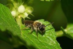 Макрос кавказской малой одичалой пчелы с длинными антеннами на зеленом le Стоковые Фото
