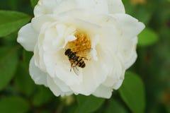 Макрос кавказца желт-striped hoverfly рода Dasysyrphus стоковая фотография rf