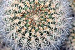 Макрос кактуса бочонка Стоковое Изображение RF