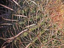 Макрос кактуса бочонка Стоковые Фотографии RF