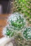 Макрос кактуса близкий поднимающий вверх Стоковые Изображения