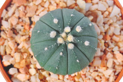 Макрос кактуса в баке Стоковая Фотография RF