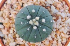 Макрос кактуса в баке Стоковое фото RF