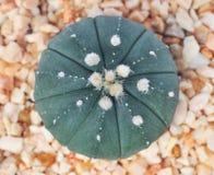 Макрос кактуса в баке Стоковые Фотографии RF