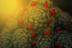 Макрос кактуса приносить в свете захода солнца Стоковое фото RF