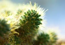 макрос кактуса Стоковое Изображение RF