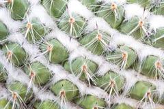 Макрос кактуса Стоковая Фотография RF