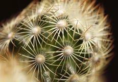 Макрос кактуса Стоковая Фотография