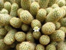 макрос кактуса Стоковое Изображение