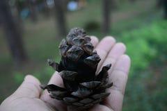 Макрос конусов сосны с весьма отмелым dof в лесе Таиланде Стоковое фото RF