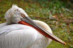 Макрос конца-вверх пеликана текстурировал клюв белых пер Стоковое Фото