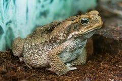 Макрос конца-вверх Aga жабы Стоковое фото RF
