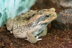 Макрос конца-вверх Aga жабы Стоковые Фотографии RF