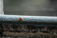 Макрос конца-вверх Ladybird Стоковая Фотография RF