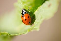 макрос крайности septempunctata Coccinella ladybird 7-пятна Стоковая Фотография RF