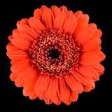 Макрос красивого оранжевого цветка Gerbera изолированного на черноте Стоковые Изображения RF