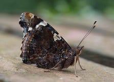 Макрос красивой бабочки адмирала стоковые фотографии rf