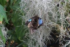 Макрос 2 красивых общих голубых бабочек Morpho сопрягая, голубых крылов на внешнем и коричневый с маркировками на внутренности Стоковое фото RF