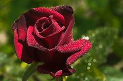 Макрос Красная роза в росе Стоковые Изображения