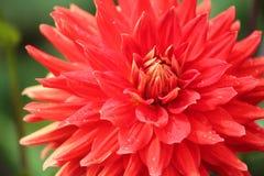 Макрос красного георгина Стоковое Изображение RF