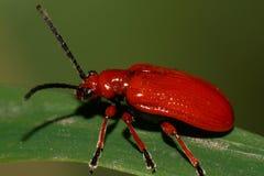 Макрос красного кавказского жука с длинными лапками и антеннами на a стоковое фото rf