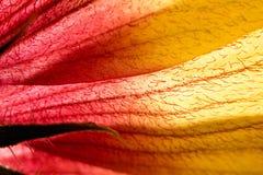 Макрос красных и желтых лепестков цветка Стоковая Фотография