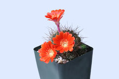 Макрос красных цветков кактуса Стоковая Фотография
