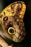 Макрос крыла бабочки сыча Стоковое фото RF