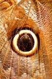 Макрос, крыло бабочки сыча Стоковая Фотография