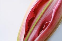 макрос лилии бутона Стоковое Изображение