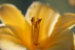 макрос лилии дня Стоковые Фото