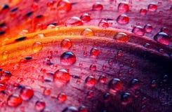 макрос лилии цветка Стоковые Изображения RF