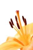 макрос лилии Стоковые Изображения