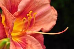 макрос лилии Стоковое Фото
