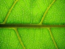 макрос листьев миндалины индийский Стоковые Изображения RF