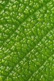 макрос листьев Стоковые Фотографии RF