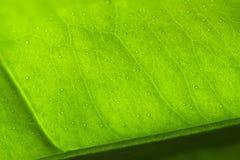 Макрос лист лимона Стоковые Фото