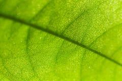 Макрос лист Annona Стоковое Фото