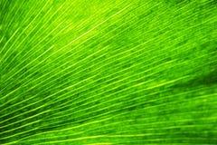 Макрос лист biloba гинкго, зеленая предпосылка eco, текстурированные естественные вены и заводы устьиц стоковая фотография