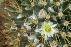 Макрос малого желтоватого белого цветка кактуса маммиллярии Стоковые Изображения RF